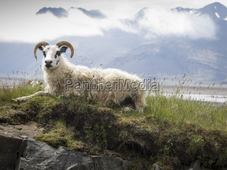a goat with large horns resting