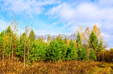 forest autumn with pine and blue