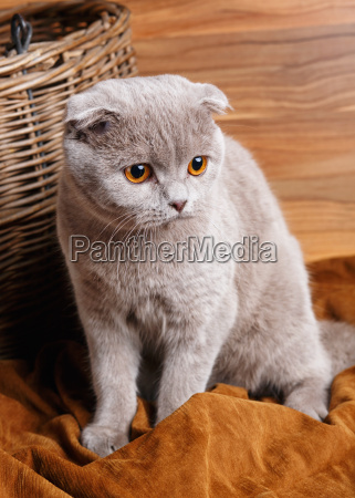 portrait of gray cat with yellow