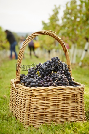 baskets of red grapes freshly harvested