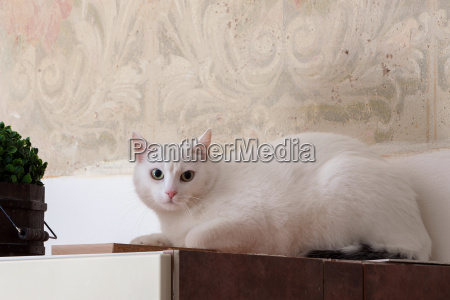 suspicious and scared white cat at