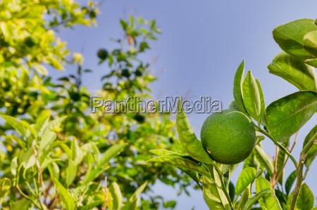 green lemon lemon tree limes