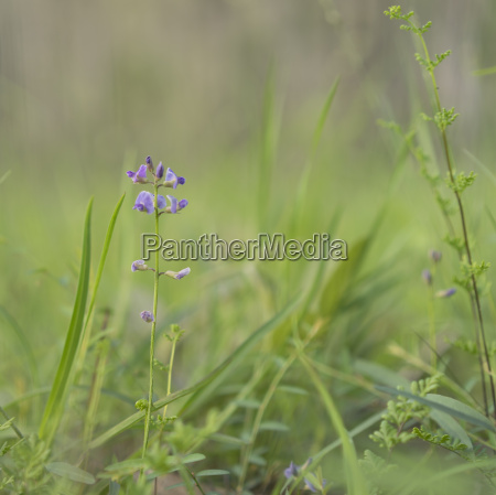 australian purple wildflower glycine tabacina