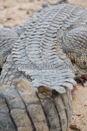 dorsal part of crocodile