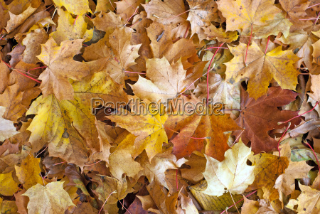different colored maple leaves in autumn