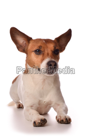 portrait of a jack russell terrier