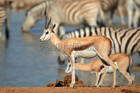 springbok and zebras at waterhole