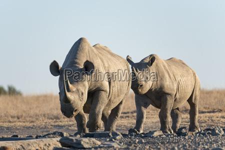 kenya rhino 31881