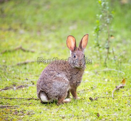cottontail rabbit sylvilagus