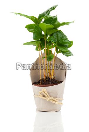 coffee plant tree in paper packaging