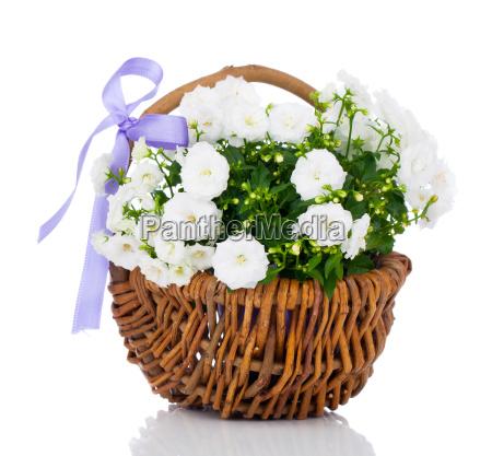 white campanula flowers in wicker basket