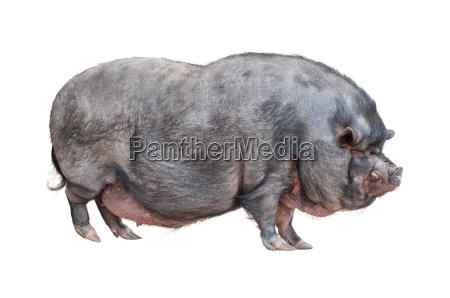 vietnamese pot bellied pig cutout