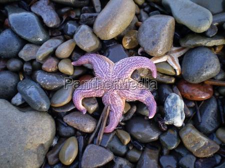 starfish ashore erinaceouses mollusks