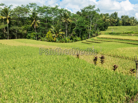 rice cultivation on bali indonesia