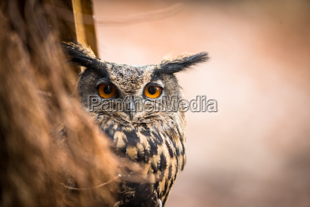 closeup of a eurasian eagle owl