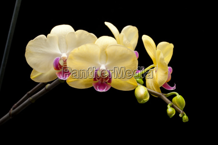 yellow orchid isolated on black