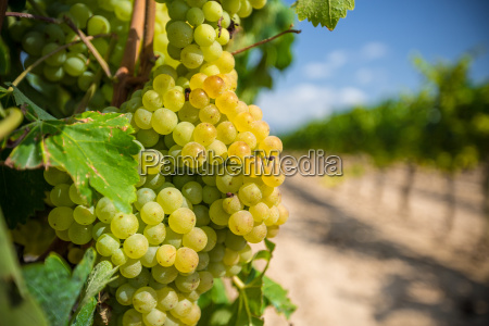 vine with white grapes