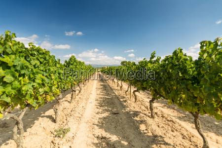 vineyards with harvest of white grapes