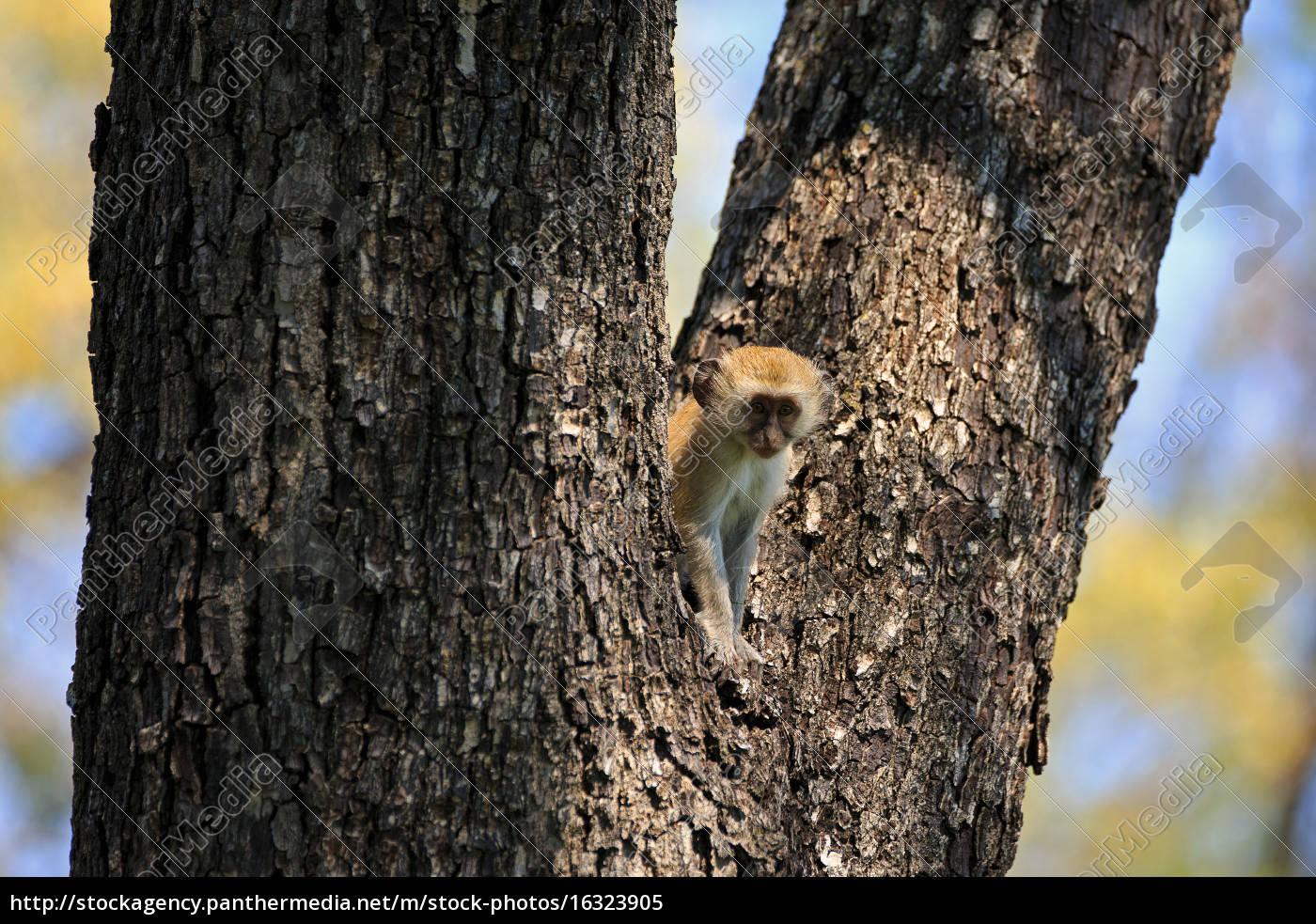 vervet, monkey - 16323905