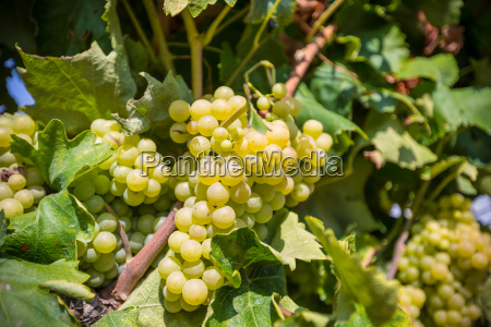 vine, with, white, grapes - 16323407