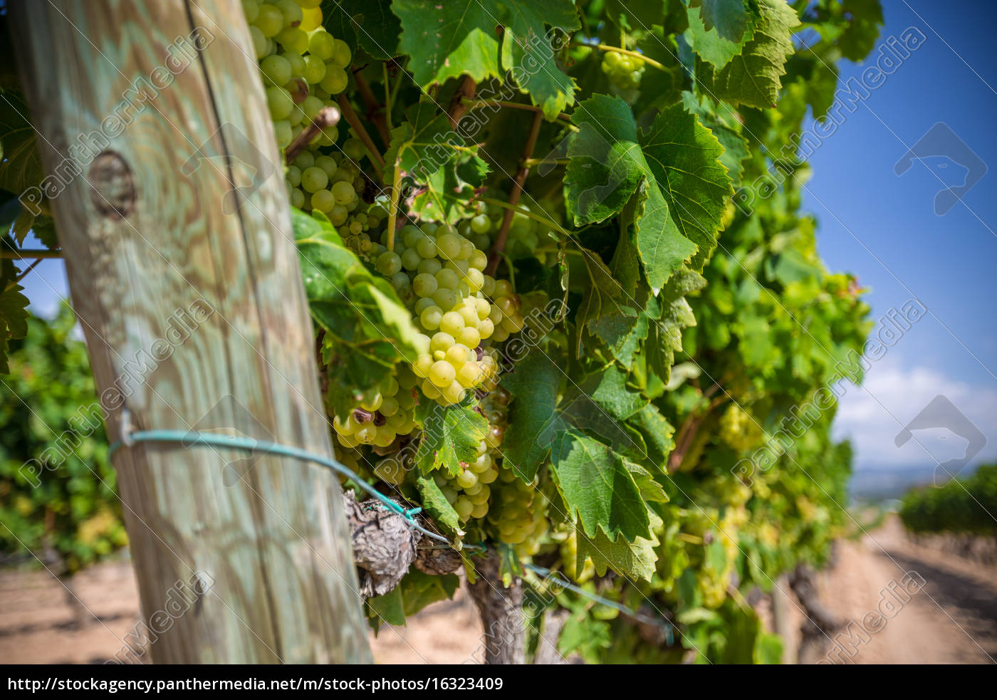 vine, with, white, grapes - 16323409