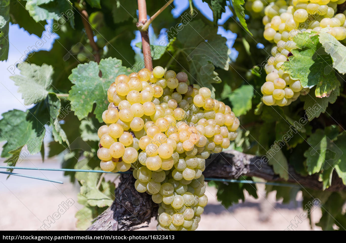 vine, with, white, grapes - 16323413
