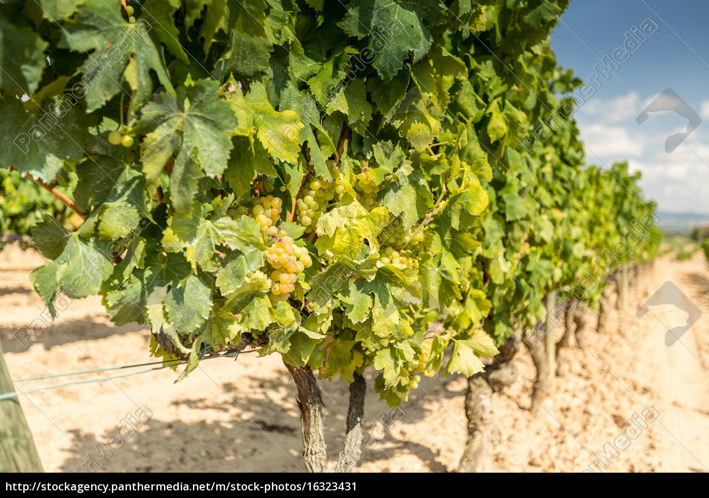 vine, with, white, grapes - 16323431