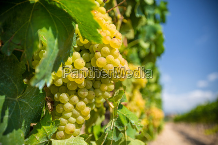 vine, with, white, grapes - 16323453