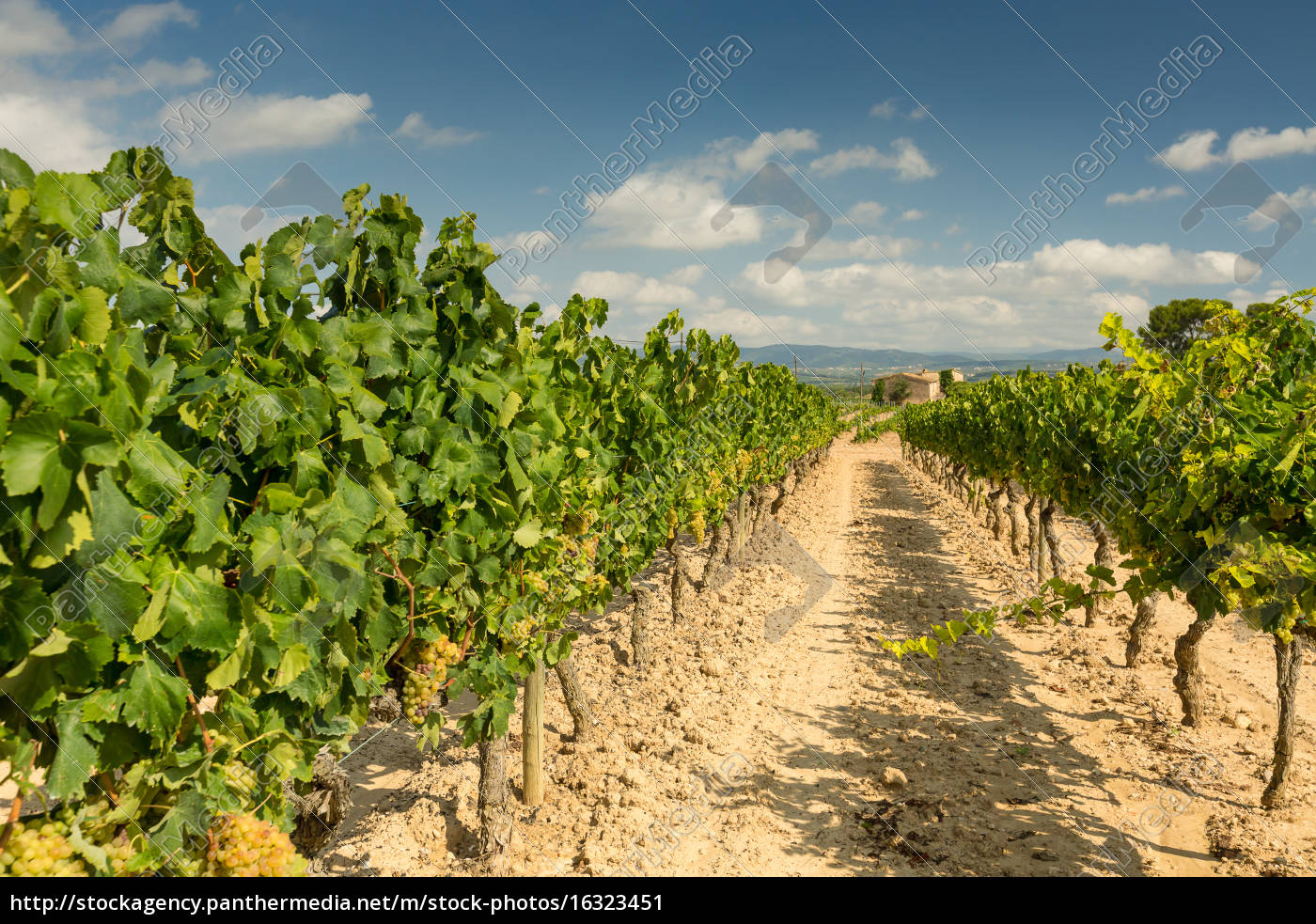 vineyards, with, harvest, of, white, grapes - 16323451