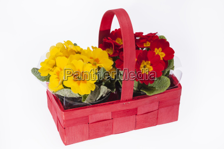 blooming, spring, flowers, of, primula, in - 16324033