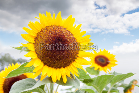 bright yellow of a sunflower against