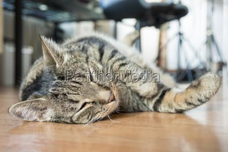 portrait of european shorthair sleeping on