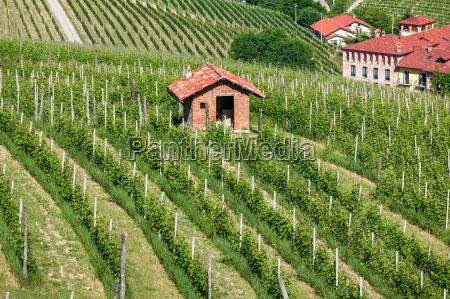 green vineyards of piedmont