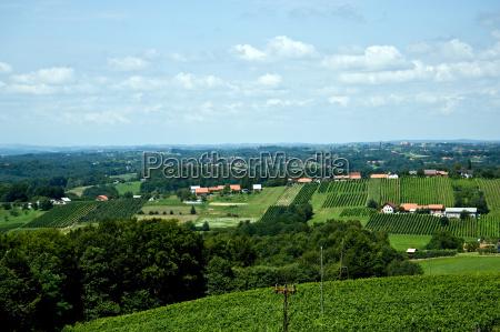 vineyard region of rogoznica