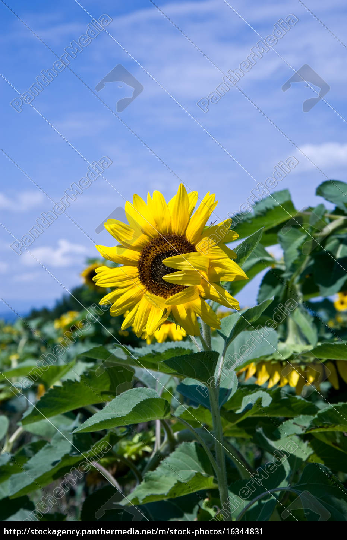 sunflower - 16344831