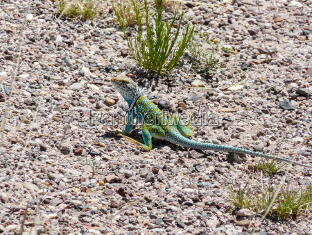 lizard at petrified forest national park
