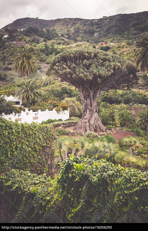 famous, dragon, tree, dragon, tree, in - 16356293