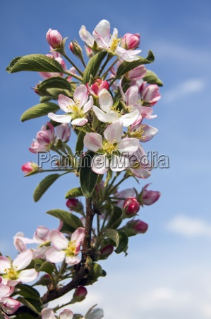 germany hamburg altes land apple blossoms