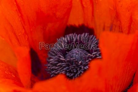 england oriental poppy papaver orientale close