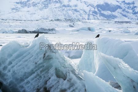 raven sit on an ice block