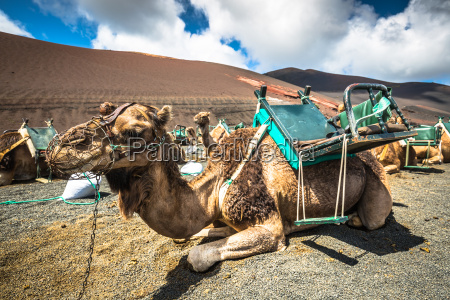 camels in timanfaya national park waiting