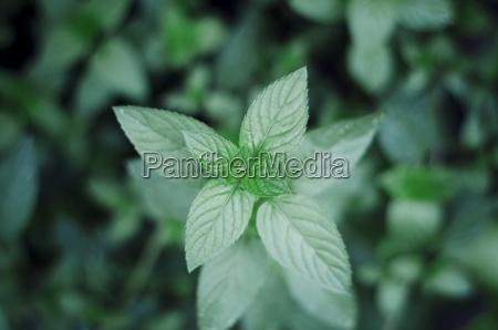 peppermint mentha piperita in garden close
