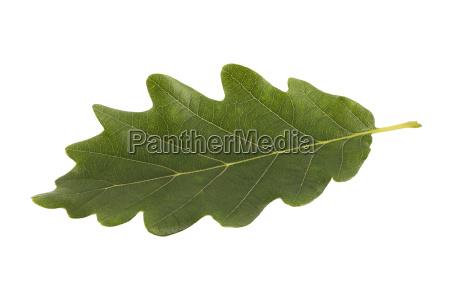 green oak leaf isolated on white