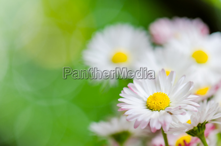 beautiful daisy flowers close up summer