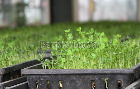 organic green pea sprout