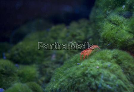 red cherry freshwater shrimp