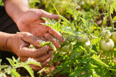 man farmer tomato field showing millepede