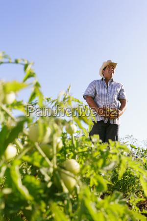 portrait man farmer harvesting tomato field