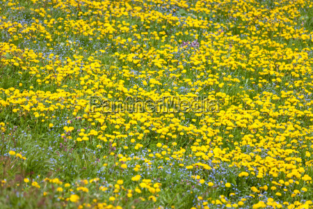 flower meadow with dandelion