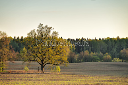 lone oak in a green spring